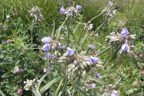 2012_06_01 Ohio spiderwort