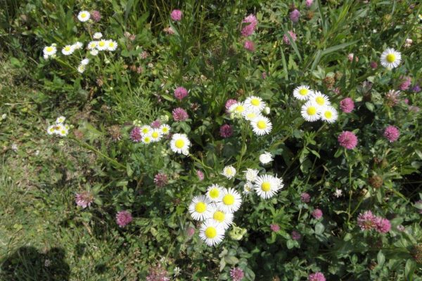 2012_06_01 annual fleabane mixed with red clover