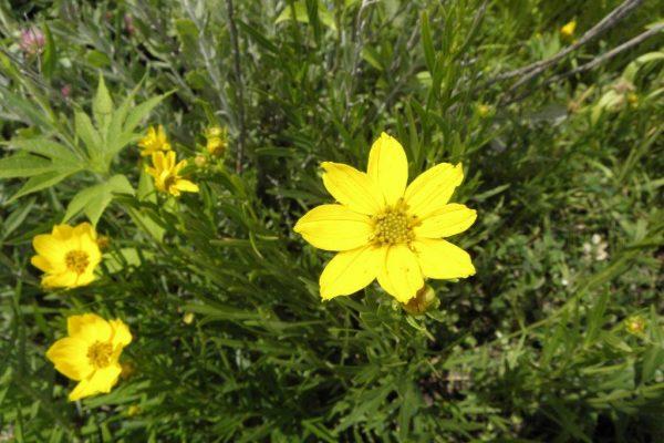 2012_06_01 prairie coreopsis