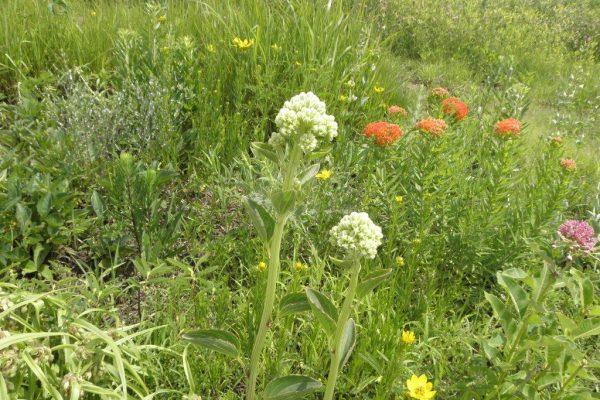 2012_06_01 prairie or tuberous Indian plantain