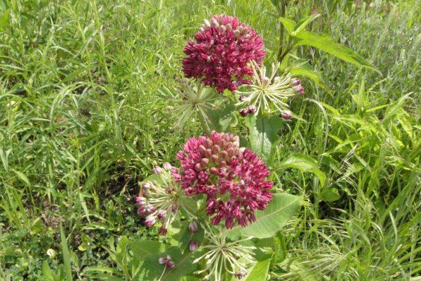 2012_06_01 sullivant's milkweed
