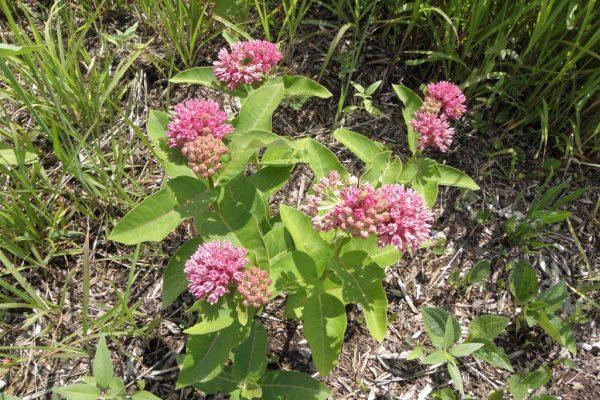 2012_06_01 sullivant's or prairie milkweed