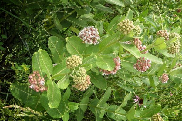 Prairie Photo Asclepias Syriaca also known as Common Milk Weed June 2011 copy